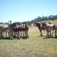 Covell's California Clydesdales Ranch