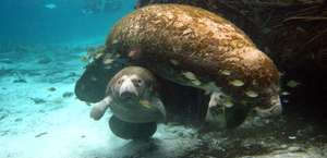Manatees in Paradise